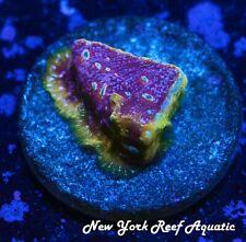 New York Reef Aquatic - 0916 G4 Kepto Lepto Wysiwyg Live Coral