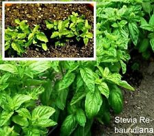 Stevia Kräuter Balkonpflanze Pflanzen für den Blumenkasten Blumentopf winterhart