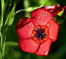 SCARLET FLAX - 1300 SEEDS - Linum Grandiflorum - ANNUAL FLOWER