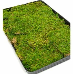 Sheet Moss - Covers approximately 1.2 square metres.