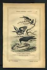 PIE GRIECHE GEAI ET CORBEAU COMMUN Gravure de 1887