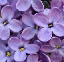 Heirloom Old Fashioned Lilac tree seedling flowering large shrub Live Plant a