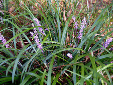 New listing 230+ Plants Bare Root Liriope Spicata Monkey Grass w/Healthy Roots Spreading