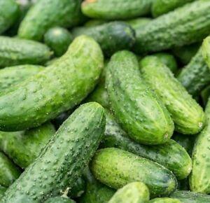 15 Cucumber Gherkin ANULKA F1 Seeds –  #1 SELLER – Heavy Cropper – Free Postage