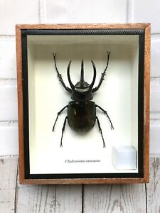 Caucasus Beetle (Chalcosoma Caucasus) 3 Horned Rhino Insect Display Case Wings