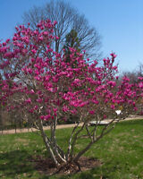 """Ann Magnolia Tree - Live Plant Healthy Established Rooted  3 Plants in 2.5"""" Pots"""