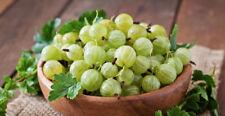 100PCs Organic Gooseberry Seeds Fruit Fresh Perennial Garden Planting Nutrient