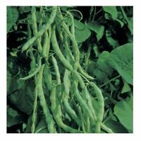 Green Bean Seeds, Kentucky Wonder 125 Pole, NON-GMO, Variety Sizes, FREE SHIP