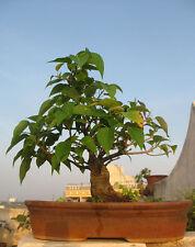 50 Bodhi Tree (Ficus Religiosa) Bonsai Tree Seeds, Exotic Home Bonsai Tree Seeds