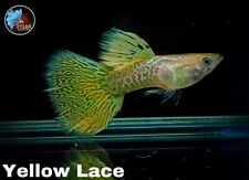 1 Pair - Yellow Lace, BDS- Live Guppy Fish - High Quality- VIP Grade A++++