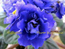 New listing African Violet Nightfall (Llg) plant-hard to find! Real dark night color!