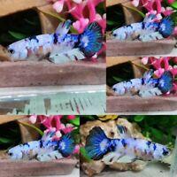 Koi Snow S2 Halfmoon Plakat Female -IMPORT LIVE BETTA FISH FROM THAILAND