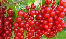 Ribes Jonkheer van Tets Rote Johannisbeere Beerenobst Obstbaum Hochstamm Stamm