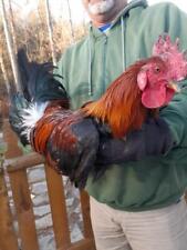 6 Laughing chicken hatching eggs, Gff ketawa stock