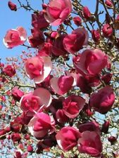 5 Alexandra Magnolia Seeds Lily Flower Tree Fragrant Flowers Tulip 597 Us Seller