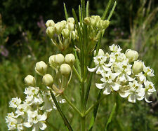 30 Seeds | Asclepias verticillata | White Whorled Milkweed | Host to Monarch