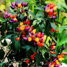50Pcs Ornamental Hot Pepper Seed Prairie Fire Edible Home Garden Plant Flower US