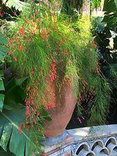 "Firecracker Plant - Russelia equisetiformis - 1 Plants - 8"" Tall -Ship in 3"" Pot"