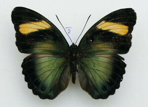 Nymphalidae - Euphaedra ceres - Ceres Forester - female #2
