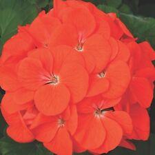 Geranium - Maverick Orange - 10 Seeds