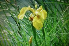 iris d'eau - jeune plante  -