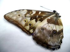 UNMOUNTED BUTTERFLY MORPHO CYPRIS CHRYSONICUS 1 PC