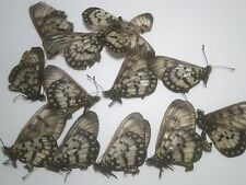 Real Butterfly/Insect/Moth Non Set B6117 Rare Acraeidae andromacha x 9.. P.N.G.