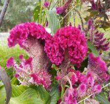 Bulk Seed 251 Giant Cockscomb Seeds Celosia Cristata For Garden