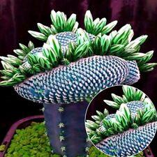 50 Stück/Pack Kakteensamen Kaktus Samen Sukkulente Kakteen Feigenkaktus Pflanzen