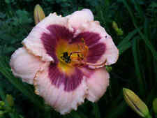 Daylily Wineberry Candy Rose Purple Hemerocallis ~ Df or 2 Plants