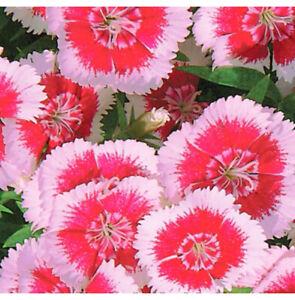 150 x DIANTHUS PLUMARIUS - Perennial  Mix Seeds