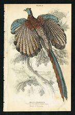 1850 Great Argus Pheasant, Hand-Colored Antique Engraving Print - Lizars