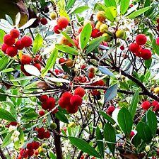 2 x Erdbeerbaum Arbutus unedo winterhart