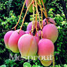 Rare Mango Seed Sweet Delicious Fruit Seed Very Easy Grow For Home Garden -2PCS