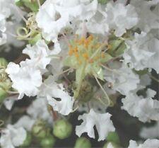 35 White Crepe Myrtle Crape Tree Shrub Lagerstroemia Flower Seeds *Comb S/H