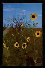 Sunflowers postcard Kansas KS State Flower Field Chrome