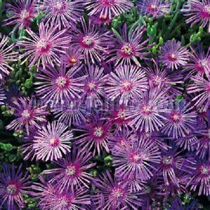Delosperma cooperi 'Table Mountain' / Cooper's Ice Plant / Hardy / 100 Seeds