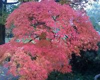 15 Samen  Acer palmatum - Japanischer Fächerahorn - Originalfoto