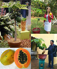 "MINIATURE! outdoor OR indoor!!  Carica Papaya Small tree ""Mihong No.3"" SEEDS."
