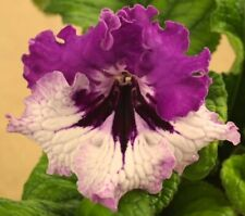 JANA Streptocarpus Plant from Poland (Kleszczynski, #6043) - IN BLOOM!  5-6