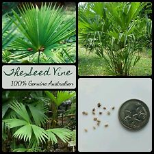 50+ PANAMA HAT PLANT SEEDS (Carludovica palmata) Tropical Indoor Ornamental
