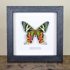 Madagascan Sunset Moth Underside Real Framed Moth