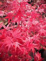 "ACER PALMATUM cv ""deshojo"" v18 Ahorn Rot Pflanze Japanisch Ahorn plant"