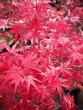 """ACER PALMATUM cv """"DESHOJO"""" v18 acero rosso pianta Japanese maple plant"""