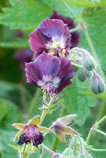 1x Geranium phaeum Samobor Hardy perennial Bee plant Shade - 9cm pot