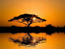 112839 ACACIA TREE AT SUNRISE Decor LAMINATED POSTER FR