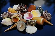 Beach Mixed 16 Medium Shells, Sea Shells, Seashells