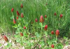 ~8000 Graines Trèfle de Perse Renversé Engrais Vert Trifolium Resupinatum Rose