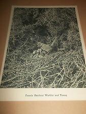 "B&W BIRD PHOTO PRINT ~ FEMALE DARTFORD WARBLER AND YOUNG 8"" X 7"" ON CARD"