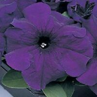 200 Pelleted Petunia Seeds Supercascade Blue BULK SEEDS